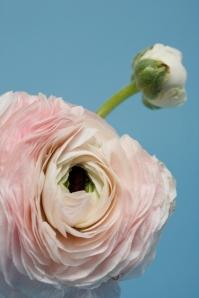 pink clone ranunculus